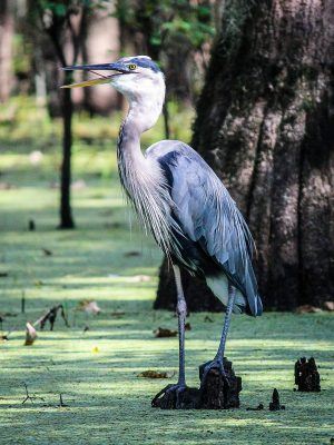 great-blue-heron-439885_1920